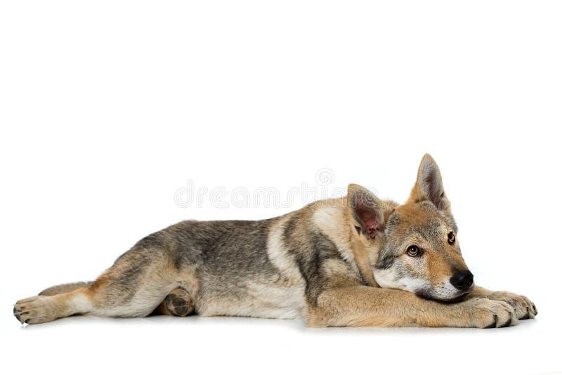 Perrito checoslovaco del wolfdog fotos de archivo