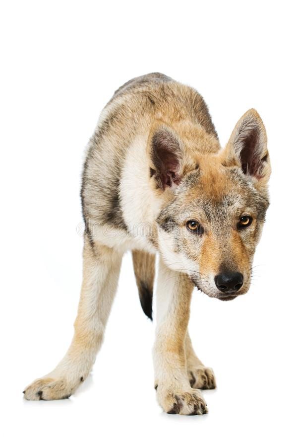 Perrito checoslovaco del wolfdog foto de archivo libre de regalías