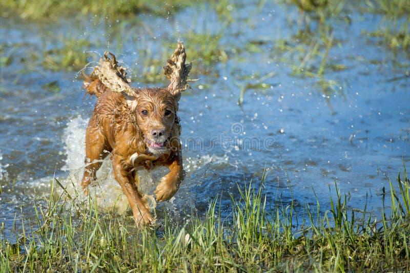 Perrito cocker spaniel que juega en el agua fotografía de archivo