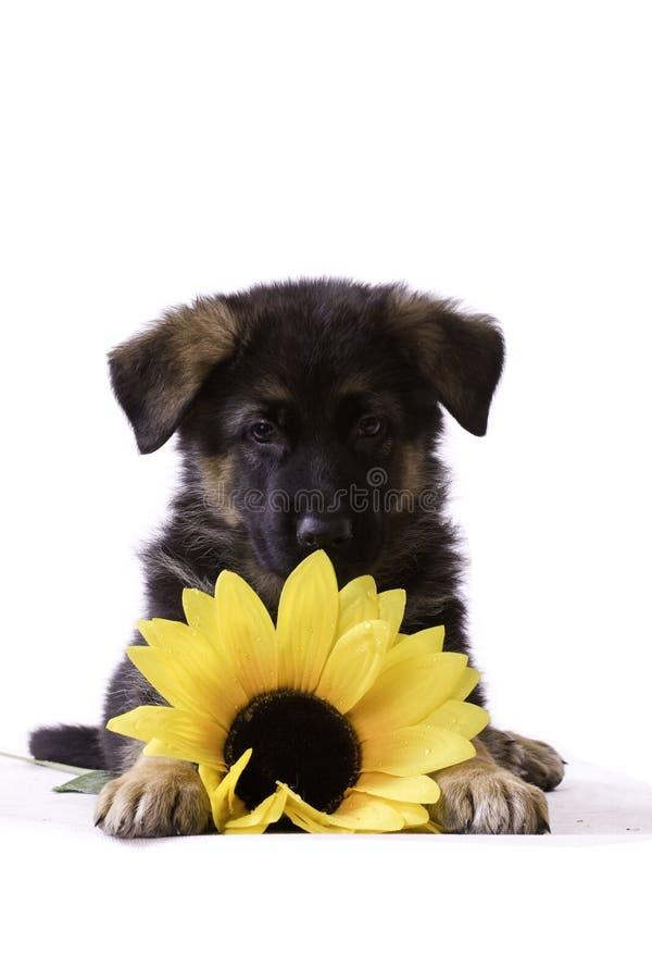 Download Perrito con el girasol imagen de archivo. Imagen de perrito - 17495063