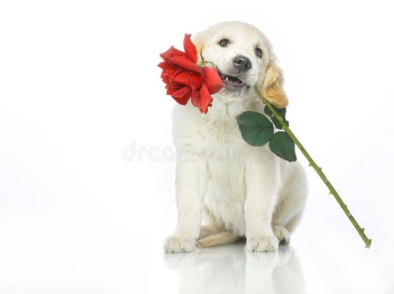 Perrito con la flor de la rosa del rojo fotos de archivo