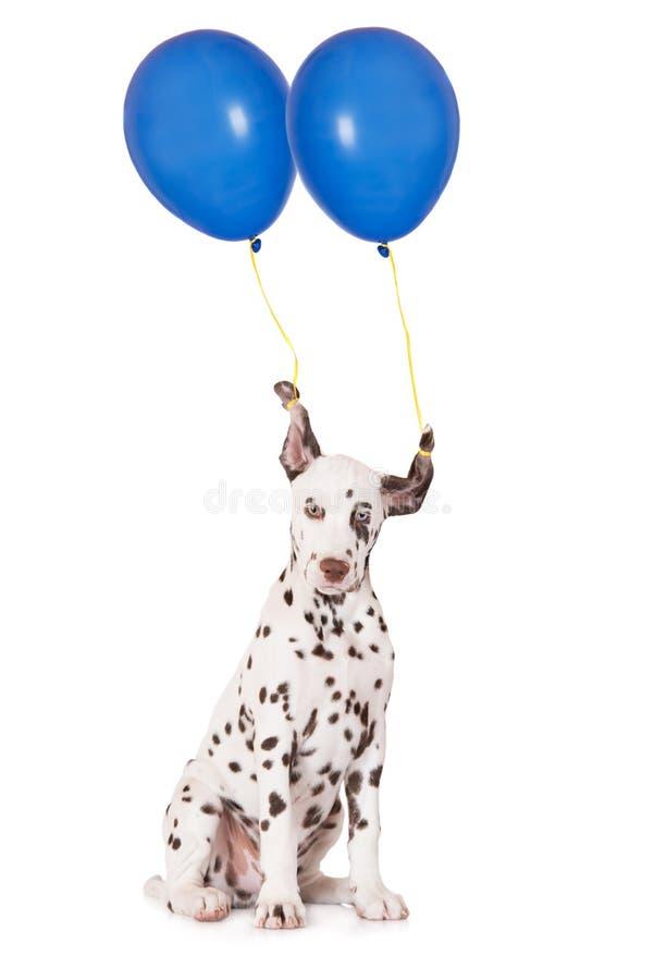 Perrito dálmata con dos globos fotos de archivo libres de regalías