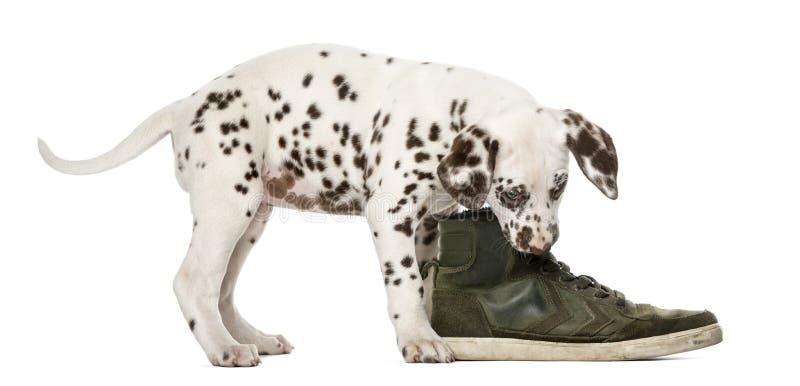 Perrito dálmata que mastica un zapato foto de archivo