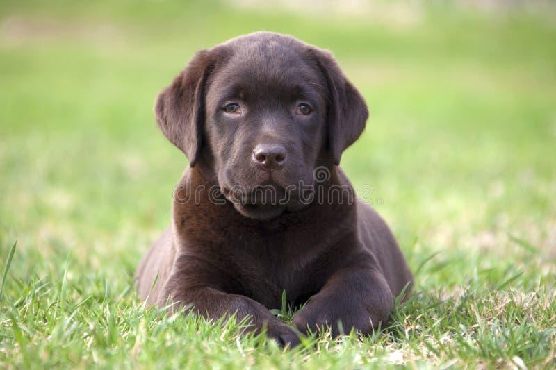 perrito brown