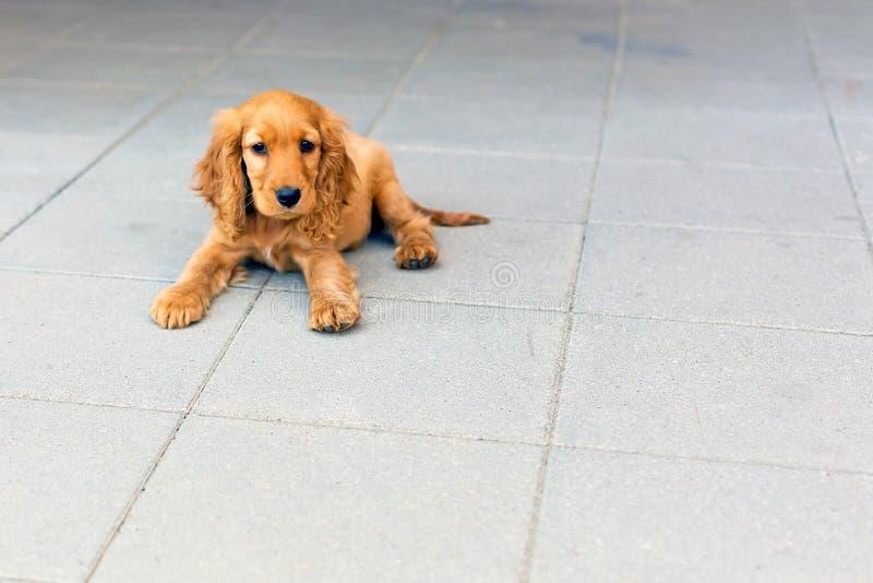 Perrito de cocker spaniel del inglés foto de archivo