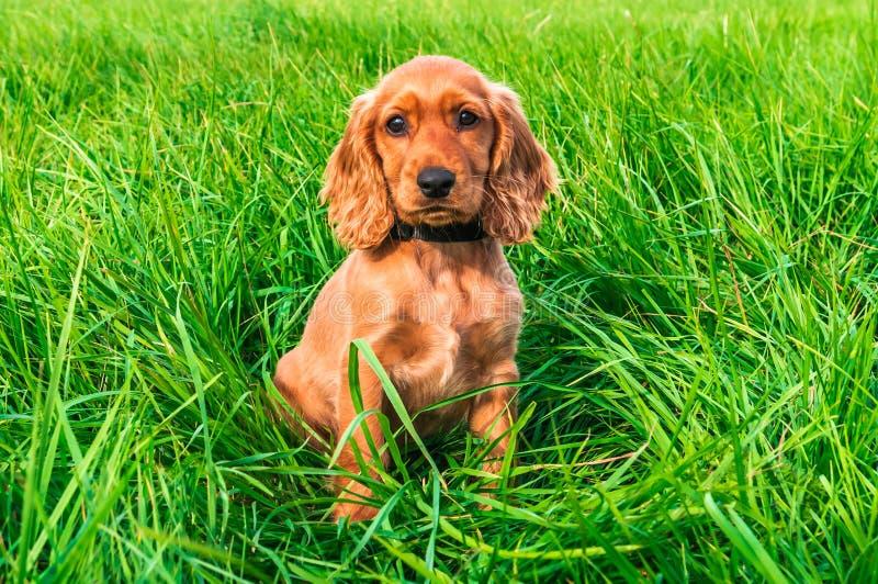 Perrito de cocker spaniel del inglés que se sienta en la hierba fotos de archivo libres de regalías