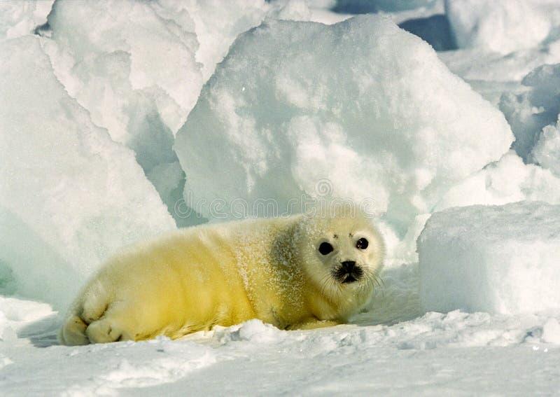 Perrito de foca de Groenlandia fotos de archivo
