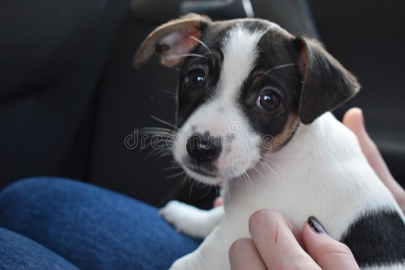 Perrito de Gato Russell fotos de archivo libres de regalías