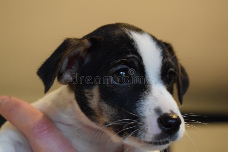 Perrito de Gato Russell foto de archivo libre de regalías