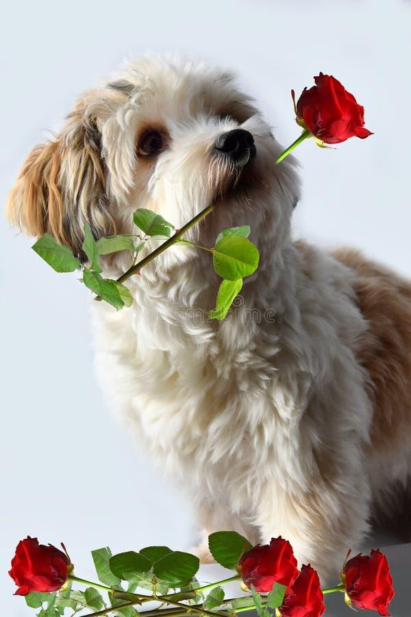 Perrito de Havanese con la rosa en su hocico fotografía de archivo