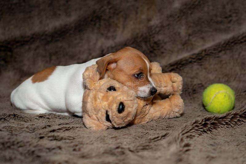 Perrito de Jack Russell que duerme en una manta marrón dirigida al juguete foto de archivo libre de regalías
