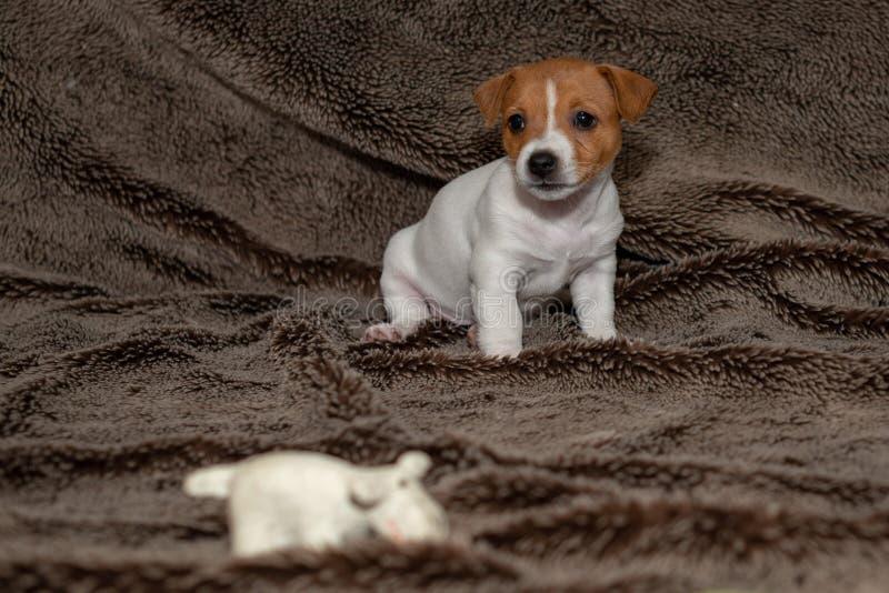 Perrito de Jack Russell que se sienta en una manta marrón fotos de archivo