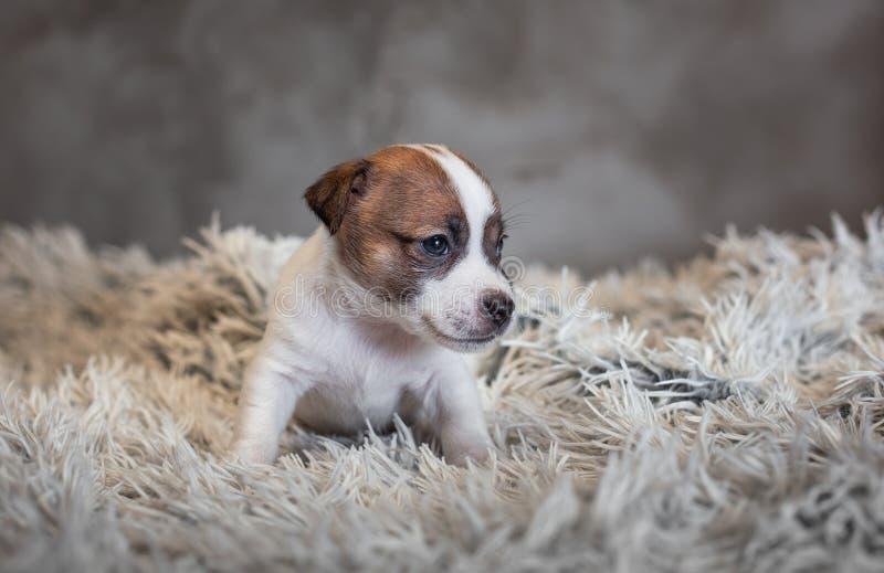 Perrito de Jack Russell Terrier con los puntos en el bozal, sentándose en una alfombra de Terry foto de archivo libre de regalías
