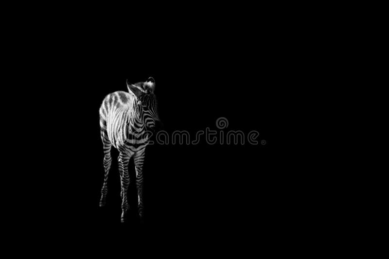 Perrito de la cebra en fondo negro imagenes de archivo