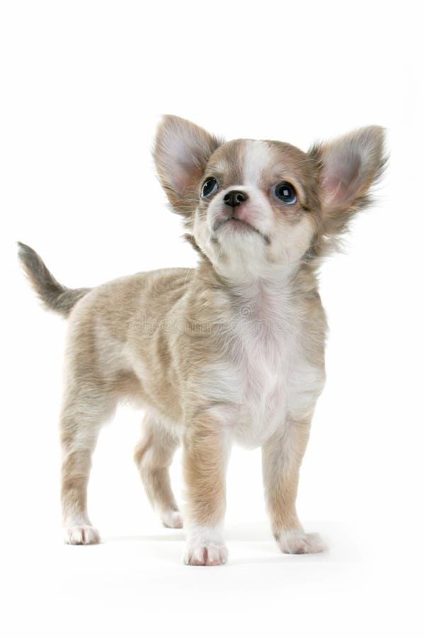 Perrito de la chihuahua foto de archivo libre de regalías
