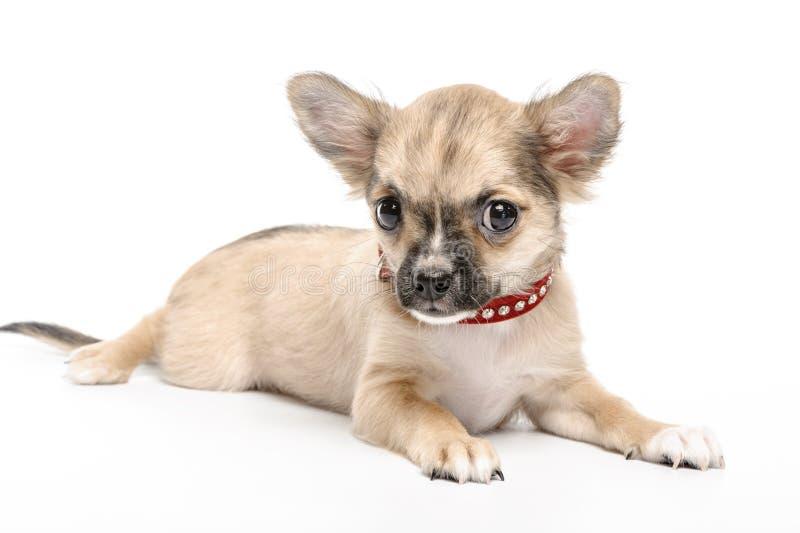 Perrito de la chihuahua con el collar rojo foto de archivo libre de regalías