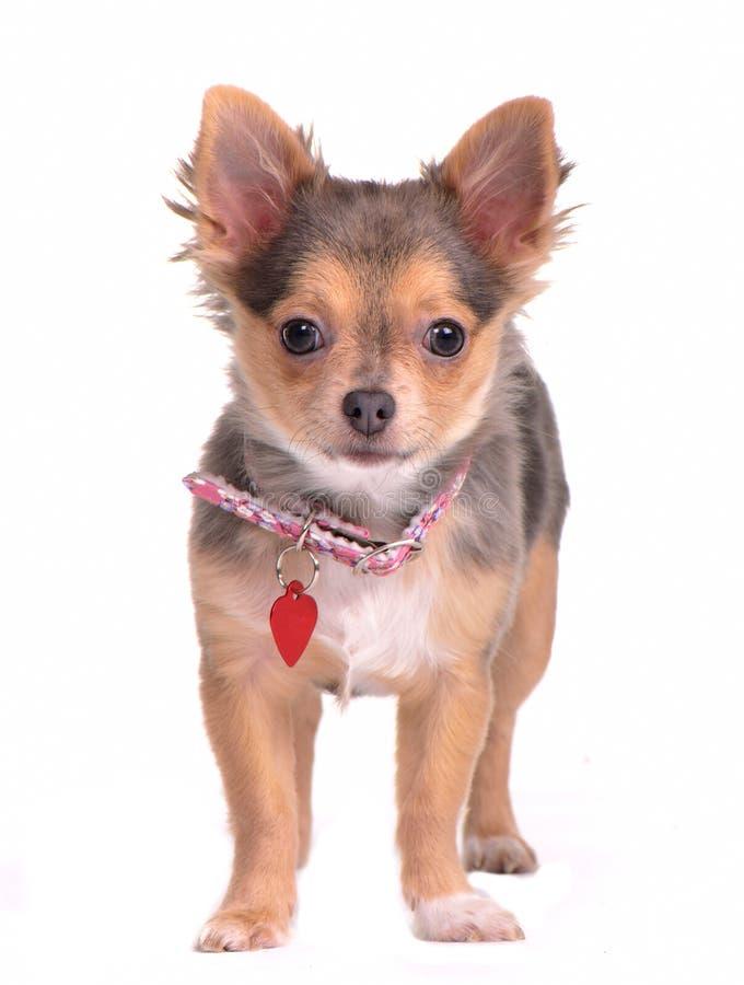 Perrito de la chihuahua con el collar y la etiqueta del nombre fotos de archivo libres de regalías
