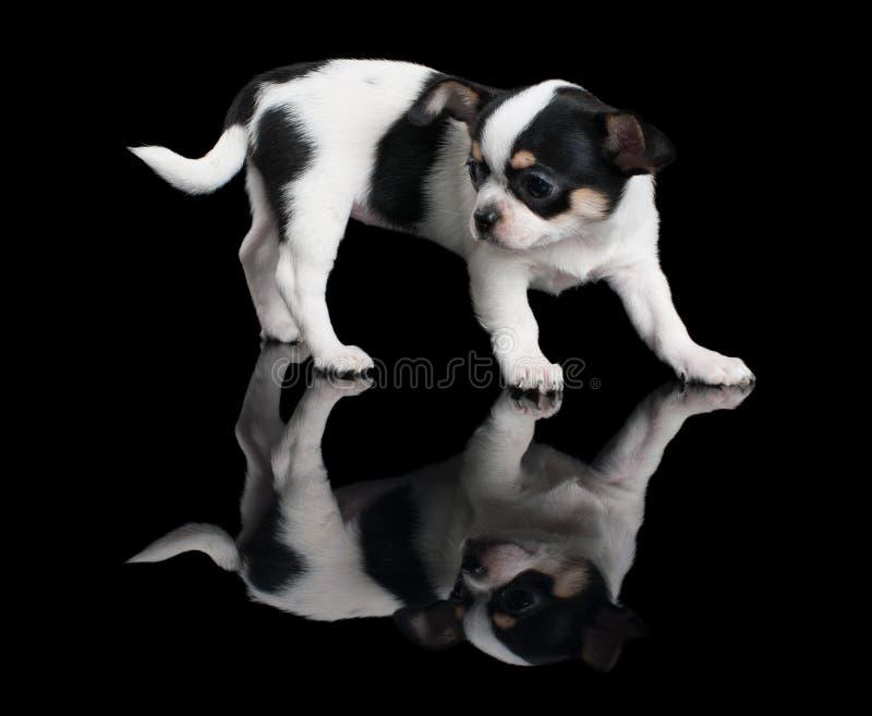 Perrito de la chihuahua en fondo negro fotografía de archivo