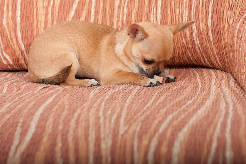 Perrito de la chihuahua que miente en el sofá, 4 meses femeninos imagenes de archivo