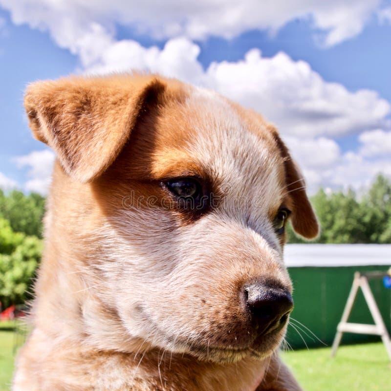Perrito de la granja en el rancho canadiense, Alberta, Canadá fotografía de archivo