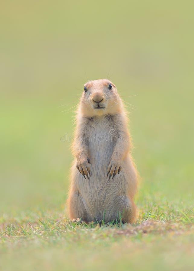 Perrito de la marmota de pradera que se coloca con las patas y los oídos abajo fotografía de archivo libre de regalías