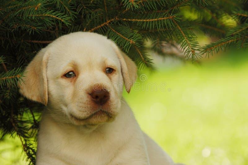 Perrito de Labrador imagenes de archivo