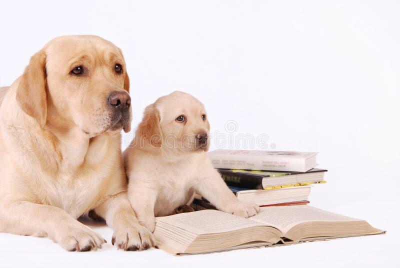 Perrito de Labrador con su madre y libros fotos de archivo