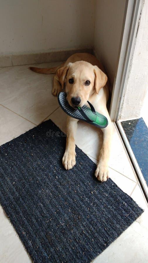 perrito de Labrador con su owner& x27; sandalia de s en su boca, un pequeño perro lindo imagen de archivo