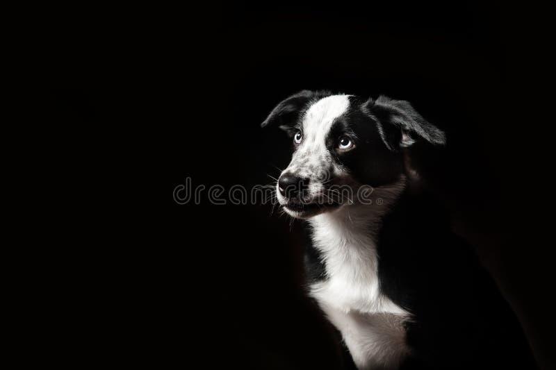 Perrito de los borderes collie fotografía de archivo libre de regalías