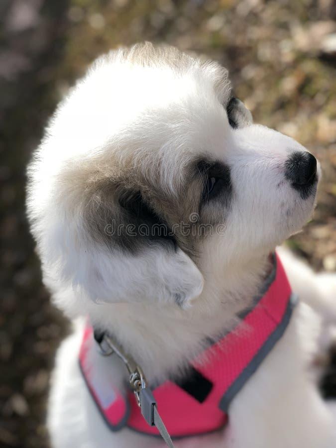Perrito de los grandes Pirineos foto de archivo libre de regalías
