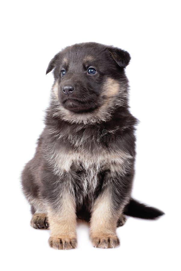 Perrito de los perros pastor foto de archivo libre de regalías