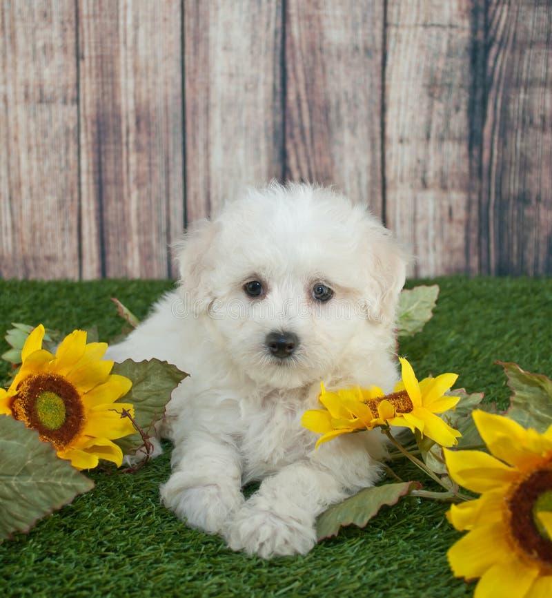 Perrito de Maltipoo imagen de archivo libre de regalías