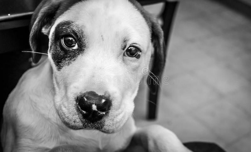 Perrito de 5 meses, ojos del perrito imágenes de archivo libres de regalías