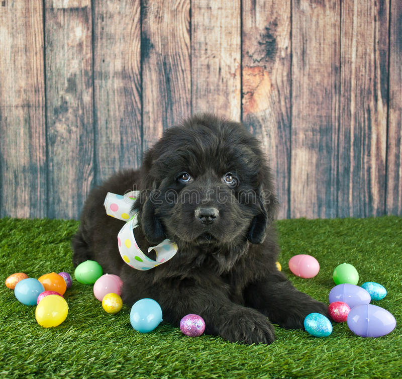 Perrito de Pascua Terranova fotografía de archivo