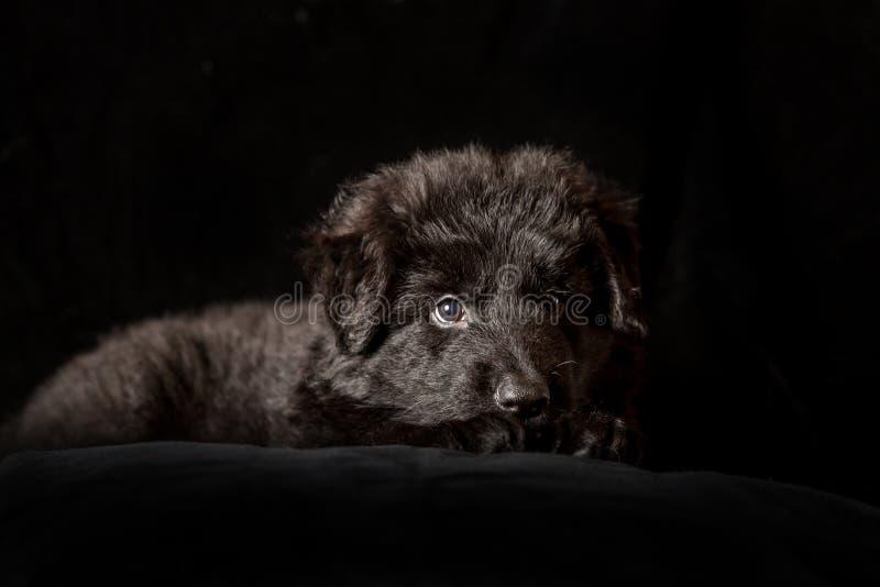 Perrito de pelo largo negro del pastor alemán en negro imágenes de archivo libres de regalías