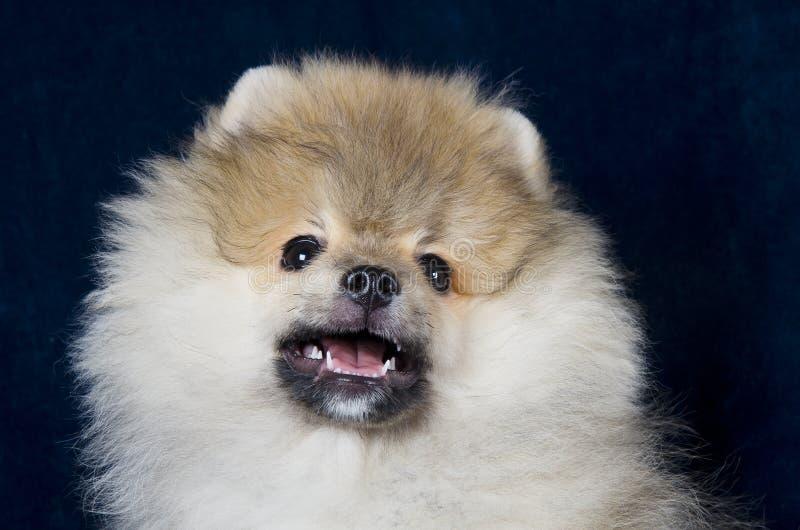 Perrito de Pomeranian foto de archivo