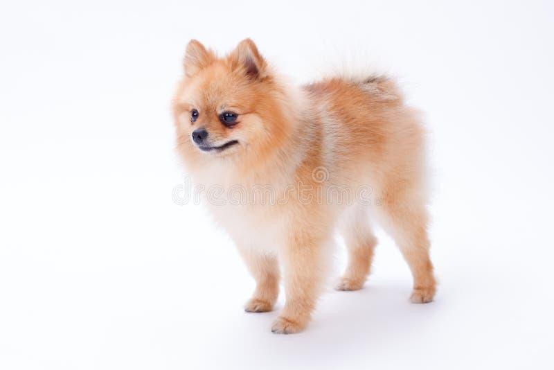 Perrito de Pomeranian aislado en el fondo blanco fotos de archivo libres de regalías