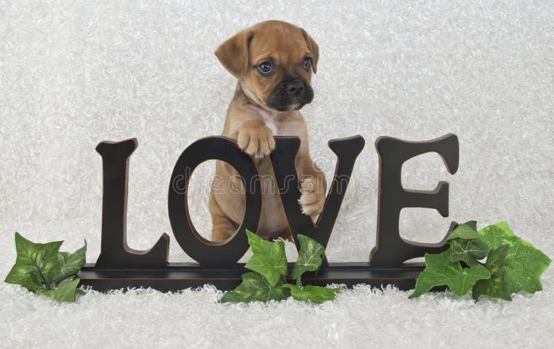 Perrito de Puggle imagen de archivo libre de regalías