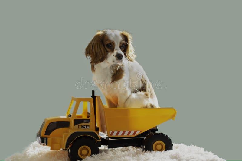 Perrito de rey Charles Cavalier en un camión del juguete imágenes de archivo libres de regalías