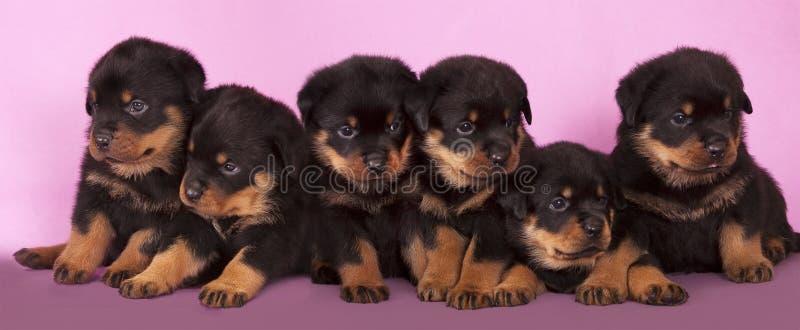 Perrito de Rottweiler imagen de archivo