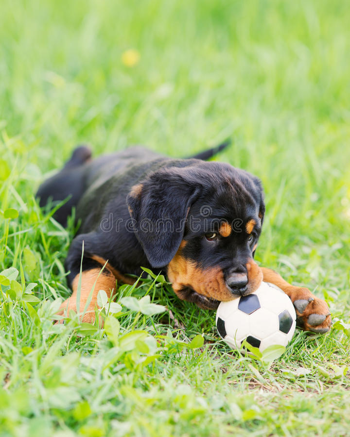 Perrito de Rottweiler en una hierba imágenes de archivo libres de regalías