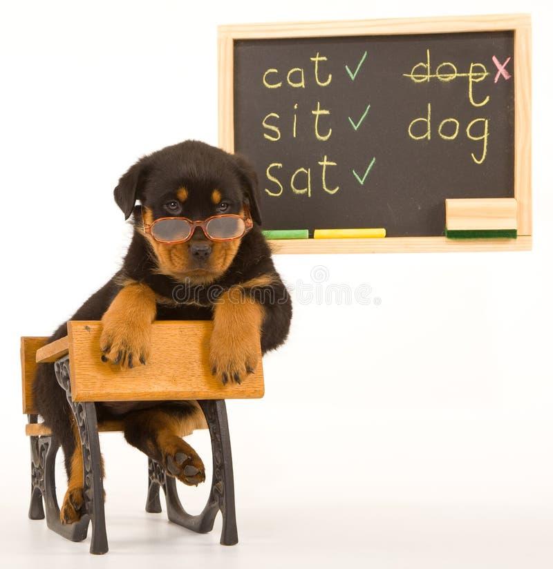 Perrito de Rottweiler que se sienta en el mini escritorio de la escuela imagenes de archivo