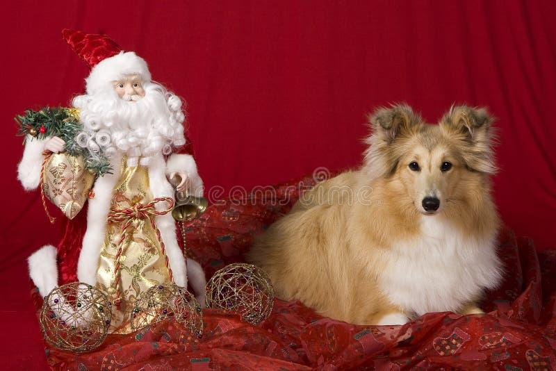Perrito de Sheltie con tema de la Navidad imagenes de archivo