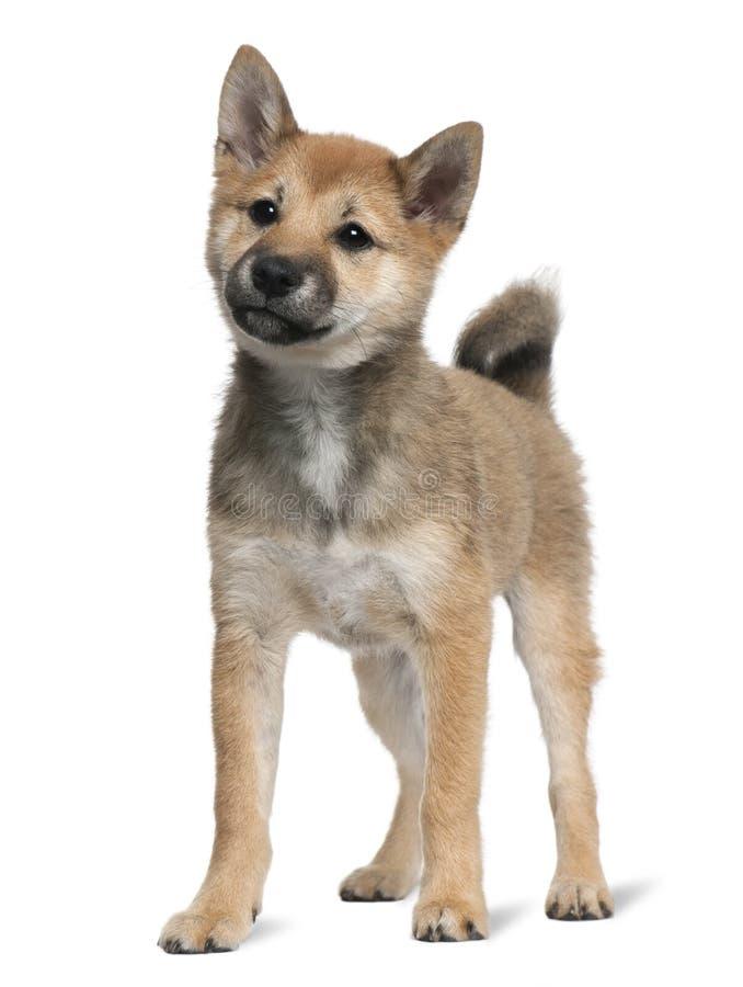 Perrito de Shiba Inu, 5 meses, colocándose fotografía de archivo libre de regalías