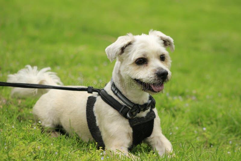 Perrito de Shih Tzu con el arnés negro que se sienta en una hierba verde, sucio melenudo del pequeño perro lindo en parque fotos de archivo