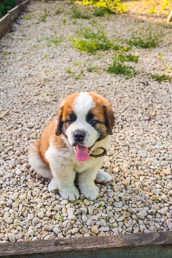 Perrito de St Bernard del perro imagen de archivo