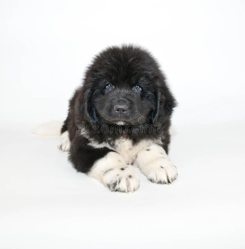 Perrito de Terranova imagen de archivo libre de regalías