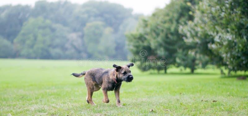 Perrito de Terrier de frontera imagenes de archivo