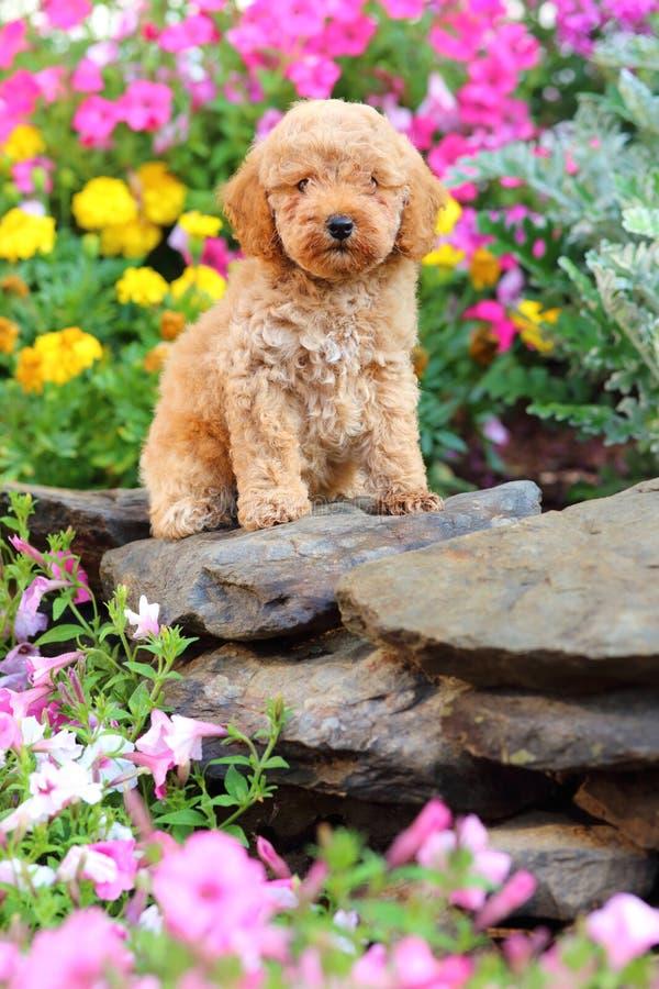 Perrito de Toy Poodle que se sienta en macizo de flores foto de archivo libre de regalías