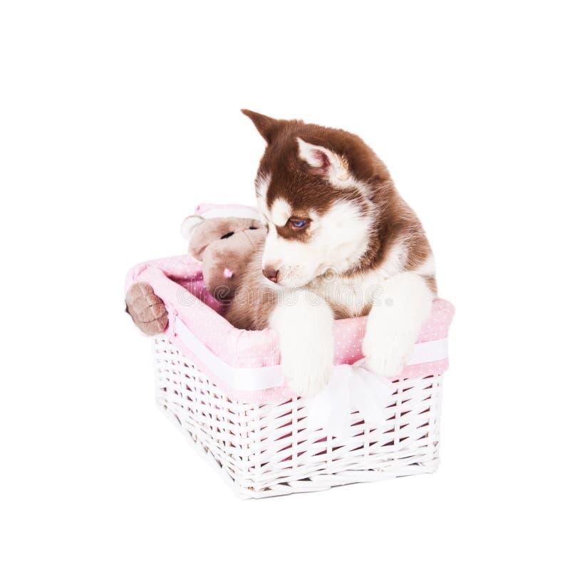 Perrito de un husky siberiano que se sienta en una cesta, aislado en un fondo blanco fotos de archivo libres de regalías